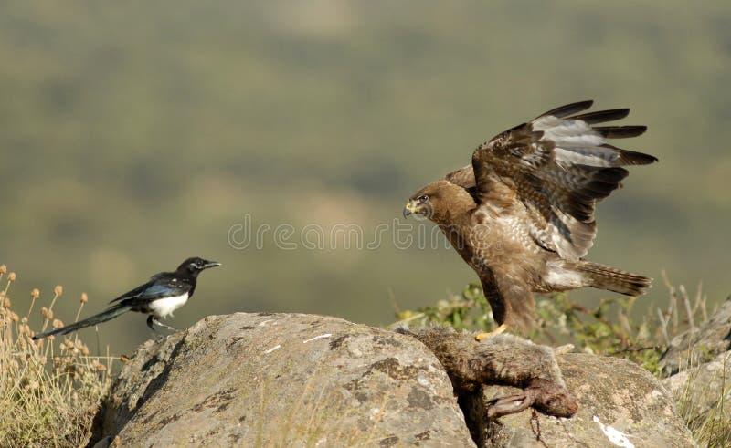 Αντιμετώπιση αετών και κισσών καρακαξών στοκ φωτογραφία
