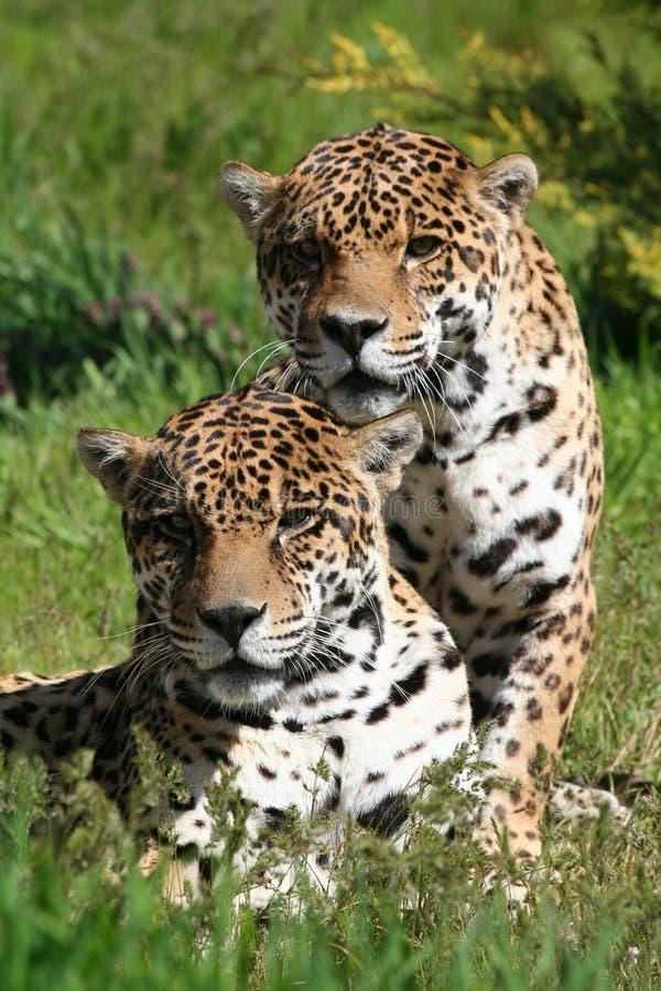 αντιμετώπιση του μπροστινού leopard ζευγαριού στοκ εικόνες