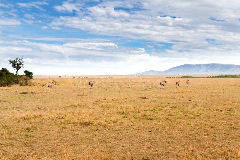 Αντιλόπες ταυροτραγών που βόσκουν στη σαβάνα στην Αφρική στοκ εικόνες