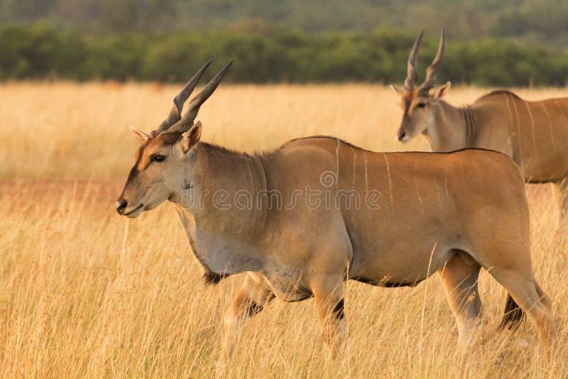 Αντιλόπη ταυροτραγών, Masai Mara στοκ φωτογραφία με δικαίωμα ελεύθερης χρήσης