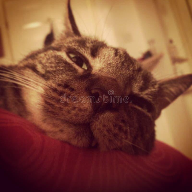 Ανόητη γάτα στοκ εικόνες
