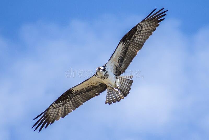 Ανύψωση Osprey ενάντια στον μπλε ουρανό του Κολοράντο στοκ εικόνα με δικαίωμα ελεύθερης χρήσης