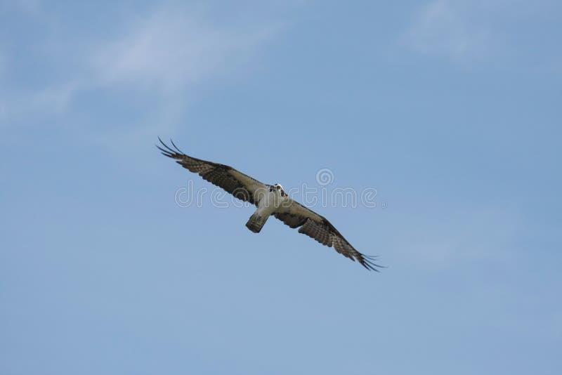 ανύψωση osprey στοκ φωτογραφίες