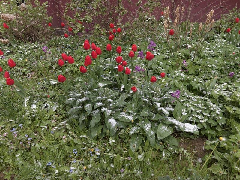 Ανώμαλος καιρός Το χιόνι πέφτει το Μάιο Πτώσεις χιονιού στην άνθηση Flowerbed στοκ φωτογραφία με δικαίωμα ελεύθερης χρήσης