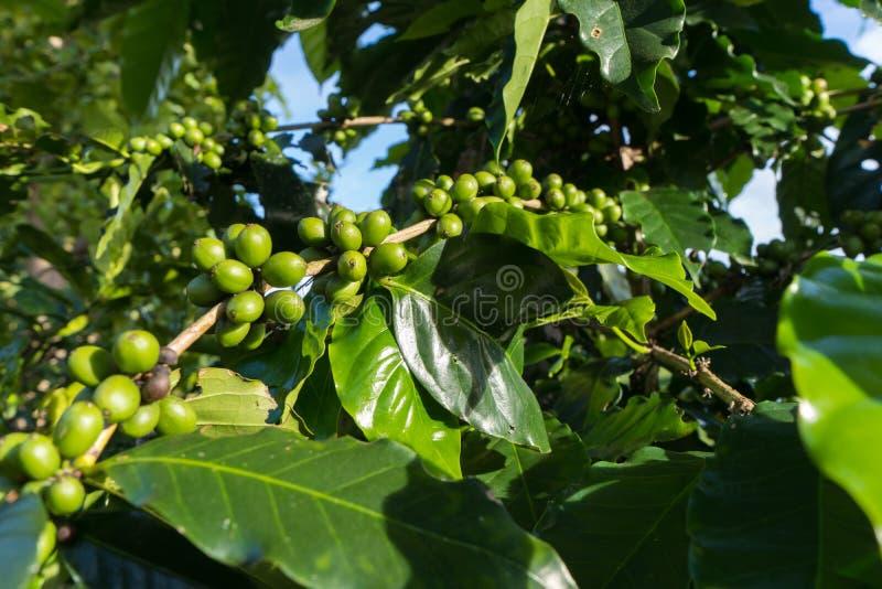 Ανώριμα πράσινα κεράσια καφέ ont διακλαδίζεται που είναι η πηγή φασολιών καφέ στοκ εικόνες με δικαίωμα ελεύθερης χρήσης