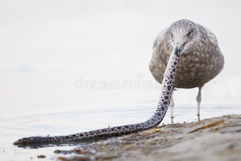 Ανώριμος ασημόγλαρος που προσπαθεί να καταπιεί ένα σαρωμένο επισημασμένο Snak στοκ εικόνες