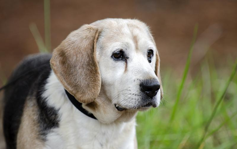 Ανώτερη φωτογραφία υιοθέτησης κατοικίδιων ζώων σκυλιών λαγωνικών στοκ εικόνες