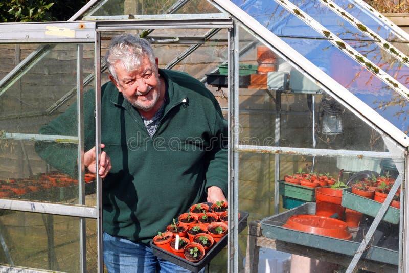 Ανώτερος κηπουρός στο θερμοκήπιο ή το θερμοκήπιο στοκ φωτογραφία με δικαίωμα ελεύθερης χρήσης