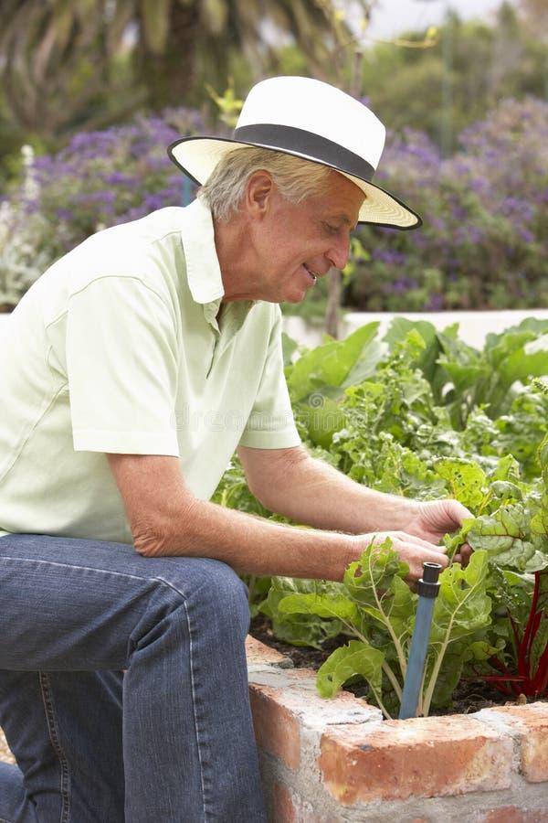 Ανώτερο άτομο που εργάζεται στο φυτικό κήπο στοκ εικόνες με δικαίωμα ελεύθερης χρήσης