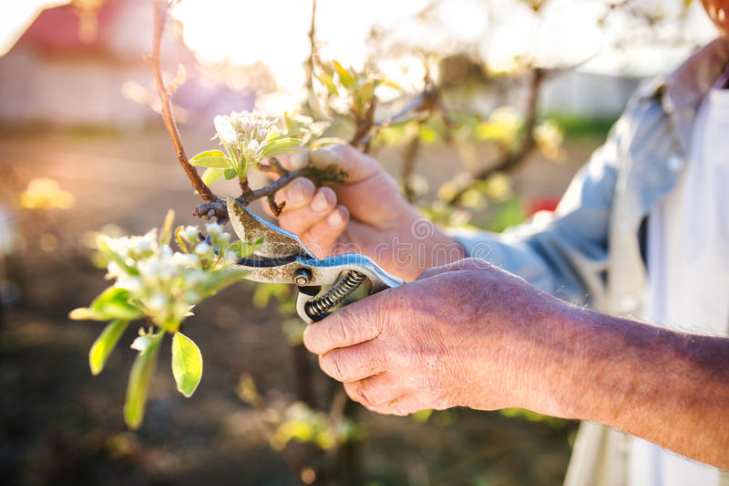 Ανώτερο δέντρο μηλιάς περικοπής ατόμων στοκ φωτογραφία