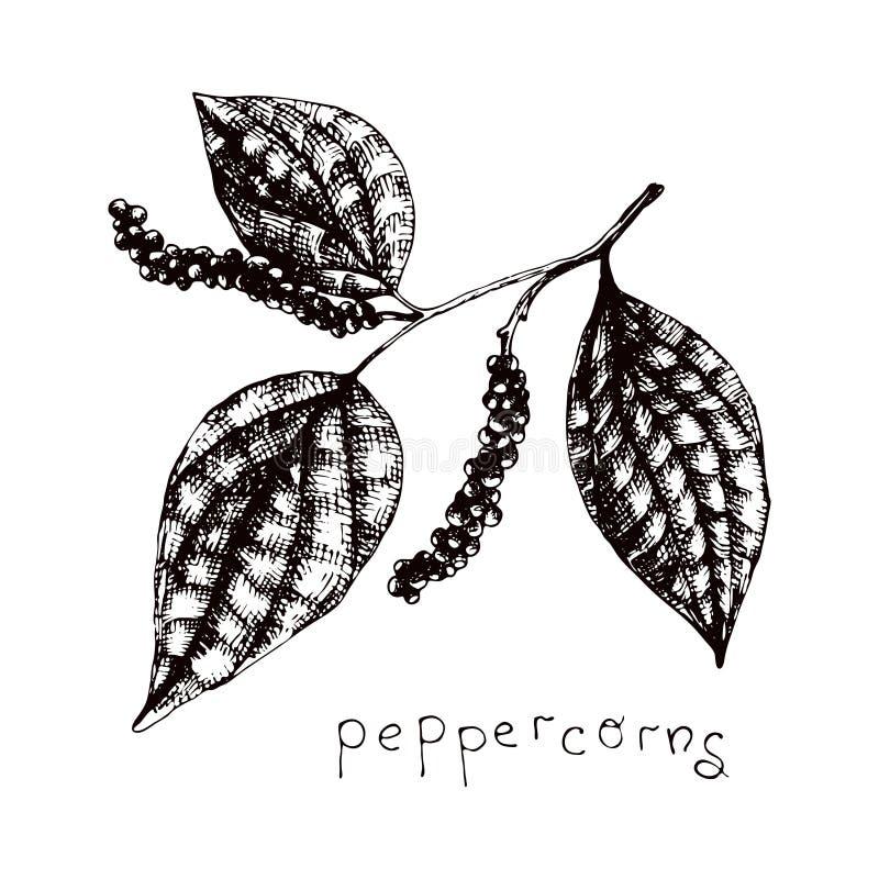 Απεικόνιση διανύσματος μετοχών με peppercorns Σκετσάρισμα με σχέδιο χειρός και συστατικό αρωματοθεραπείας απεικόνιση αποθεμάτων