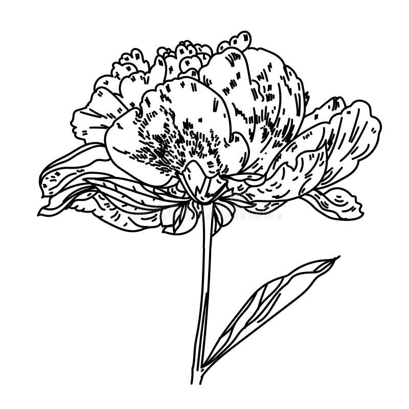 Απεικόνιση με το peony λουλούδι που απομονώνεται στο άσπρο υπόβαθρο επίσης corel σύρετε το διάνυσμα απεικόνισης σκιαγραφία Ρεαλισ διανυσματική απεικόνιση
