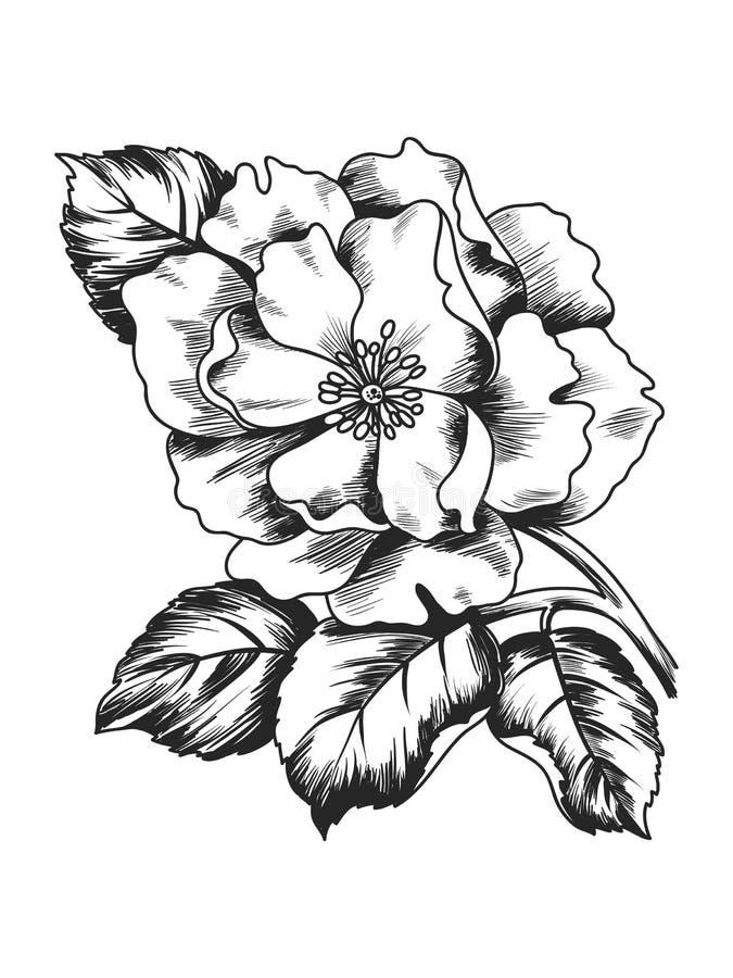 Απεικόνιση σκίτσων κομψότητας με το λουλούδι κλάδων peony που απομονώνει στο άσπρο υπόβαθρο ελεύθερη απεικόνιση δικαιώματος
