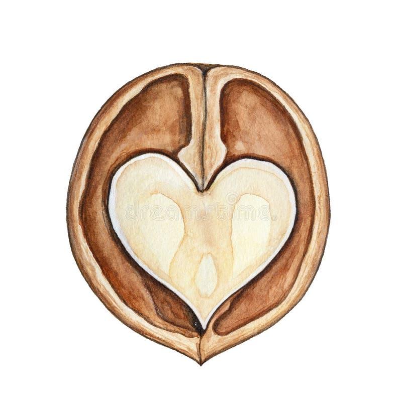 Απεικόνιση υδατοχρώματος του καρδιά-διαμορφωμένου διχοτομημένου ξύλου καρυδιάς απεικόνιση αποθεμάτων