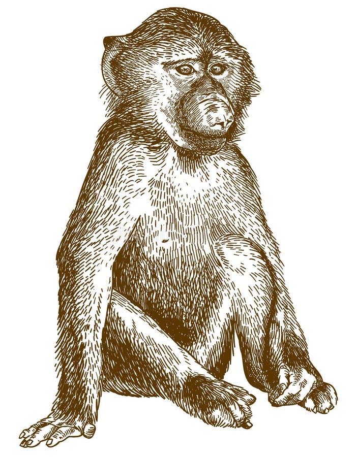 Απεικόνιση χάραξης baboon cub διανυσματική απεικόνιση