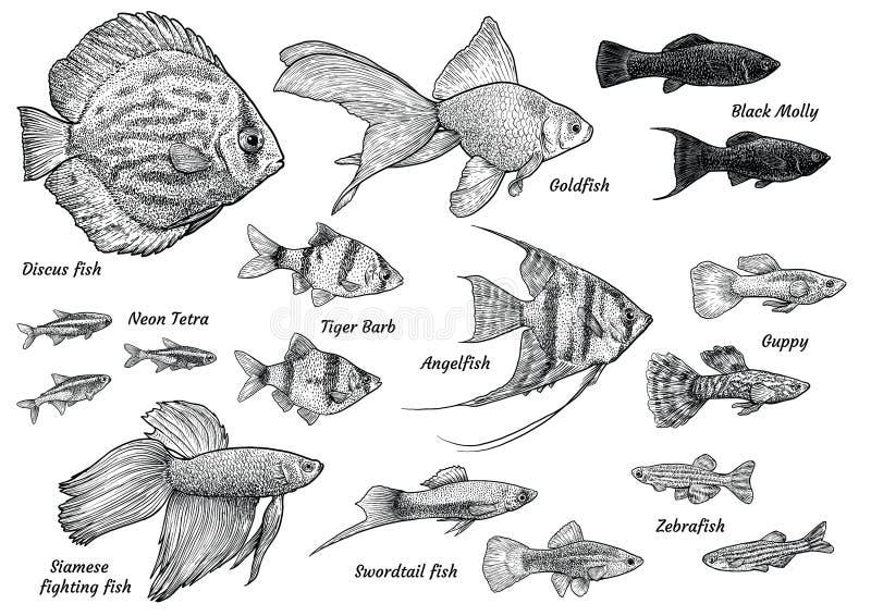 Απεικόνιση Angelfish, σχέδιο, χάραξη, μελάνι, τέχνη γραμμών, vectorCollection της απεικόνισης ψαριών ενυδρείων, σχέδιο, χάραξη, μ απεικόνιση αποθεμάτων