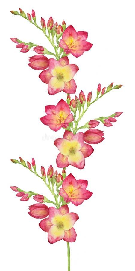 Απεικόνιση Watercolor ενός κόκκινου freesia, ανθοδέσμη, κλάδος με τους οφθαλμούς Απεικόνιση για τις ευχετήριες κάρτες, τις προσκλ απεικόνιση αποθεμάτων
