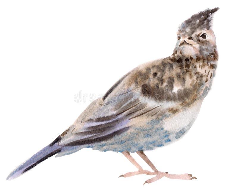 Απεικόνιση Watercolor ενός πουλιού lark διανυσματική απεικόνιση