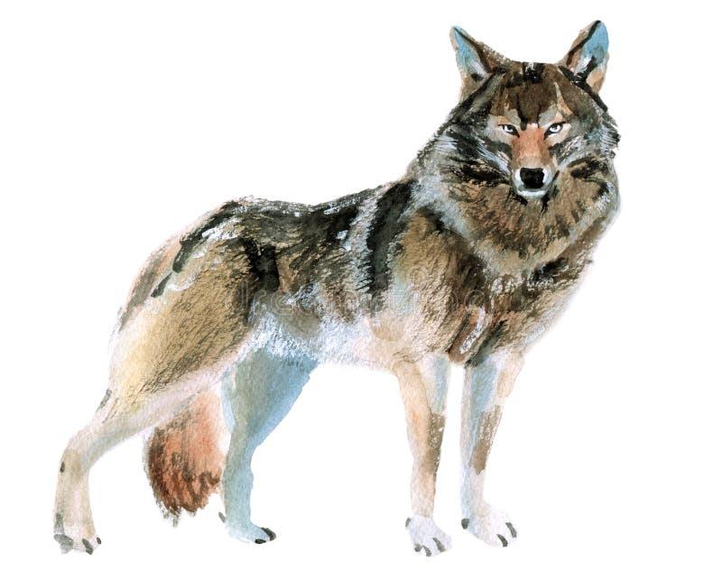 Απεικόνιση Watercolor ενός λύκου διανυσματική απεικόνιση