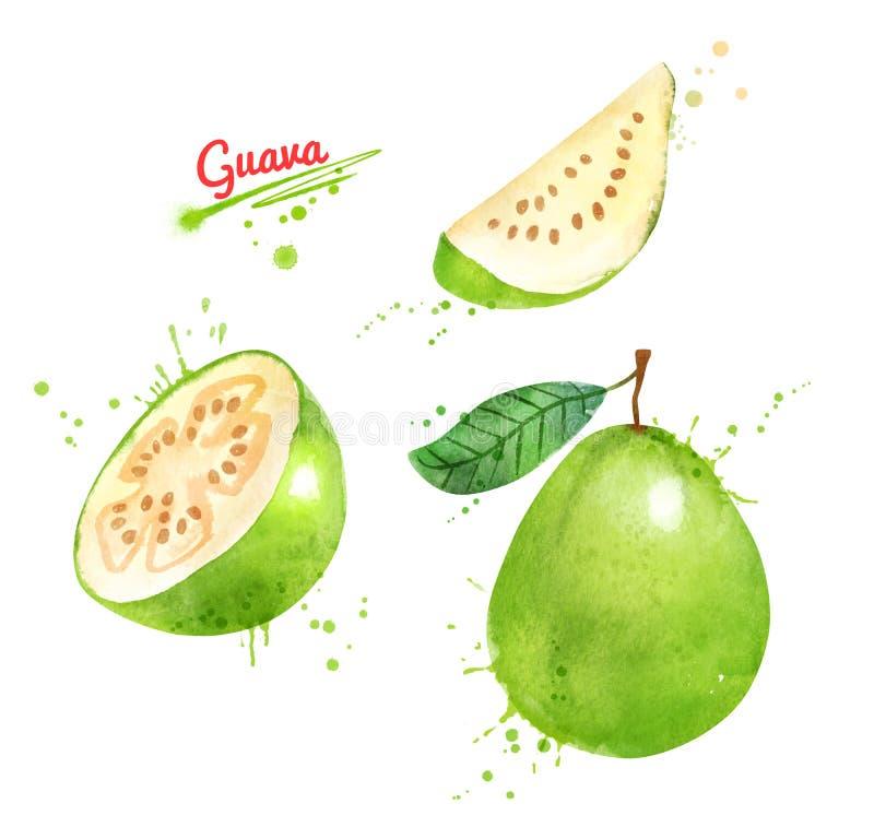 Απεικόνιση Watercolor των φρούτων γκοϋαβών διανυσματική απεικόνιση