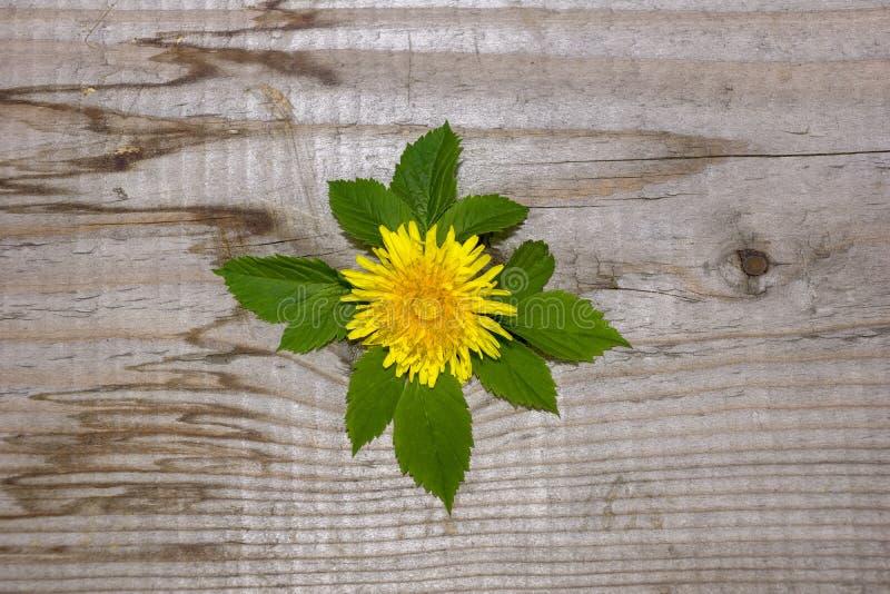 Απλό σχέδιο, κίτρινο σμέουρο λουλουδιών πικραλίδων, η έννοια της οικολογίας στοκ εικόνα με δικαίωμα ελεύθερης χρήσης