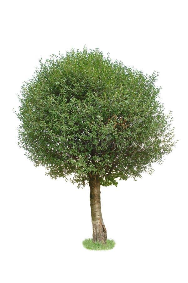 αποβαλλόμενο δέντρο στοκ εικόνα με δικαίωμα ελεύθερης χρήσης
