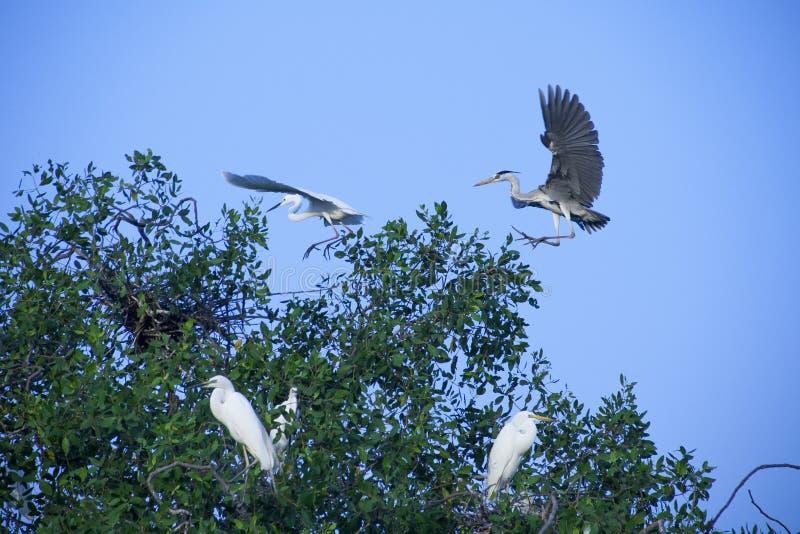 Αποδημητικά πτηνά που πετούν στα δέντρα μαγγροβίων τους στοκ φωτογραφία