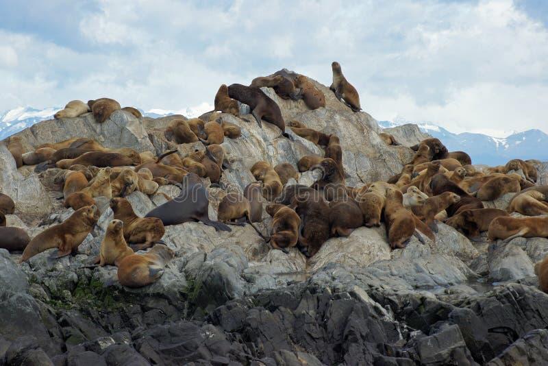 Αποικία λιονταριών θάλασσας, κανάλι λαγωνικών, Αργεντινή στοκ εικόνες