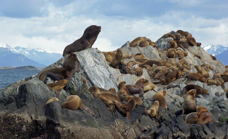 Αποικία λιονταριών θάλασσας, κανάλι λαγωνικών, Αργεντινή στοκ εικόνα με δικαίωμα ελεύθερης χρήσης