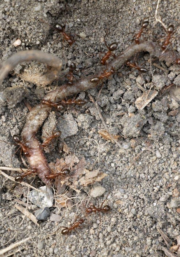 Αποικία μυρμηγκιών σε ένα σκουλήκι στοκ φωτογραφίες