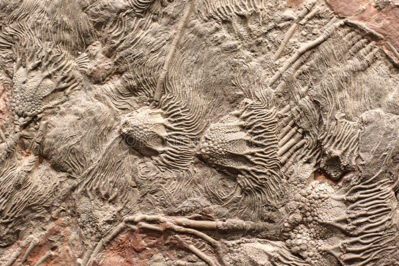 Αποικία των απολιθωμάτων στοκ εικόνα με δικαίωμα ελεύθερης χρήσης