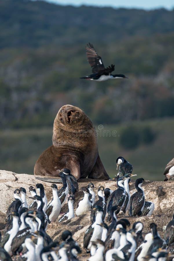 Αποικία των κορμοράνων βασιλιάδων και του λιονταριού θάλασσας, κανάλι λαγωνικών, Patagoni στοκ φωτογραφία με δικαίωμα ελεύθερης χρήσης