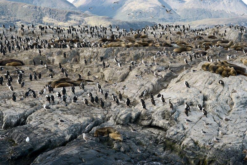 Αποικία των κορμοράνων βασιλιάδων και των λιονταριών θάλασσας στο DOS Passaros LOC Ilha στοκ εικόνα