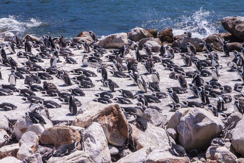Αποικία των penguins στην παραλία του λίθου κοντά στην πόλη Simons στοκ φωτογραφίες