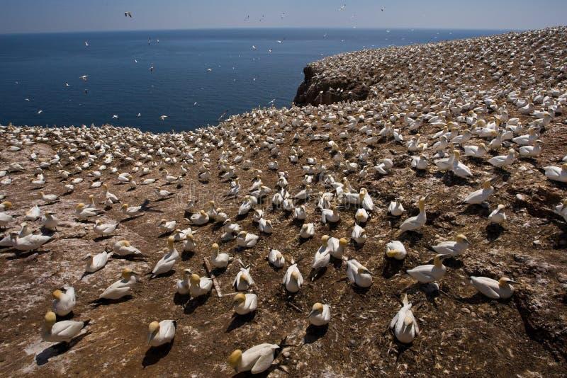 αποικία gannet βόρεια στοκ εικόνες