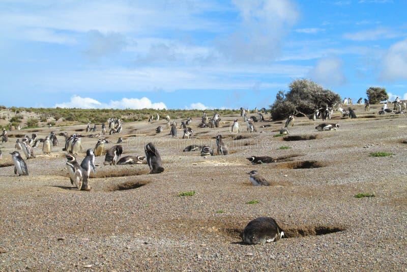 Αποικία Magellan penguins στοκ εικόνα με δικαίωμα ελεύθερης χρήσης