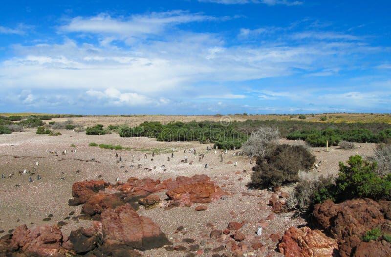 Αποικία Magellan penguins στοκ εικόνες