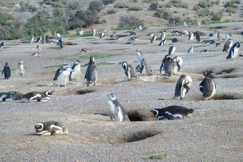 Αποικία Magellan penguins στοκ εικόνες με δικαίωμα ελεύθερης χρήσης