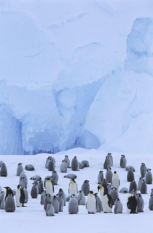 Αποικία Penguin αυτοκρατόρων (forsteri Aptenodytes) στοκ εικόνα με δικαίωμα ελεύθερης χρήσης