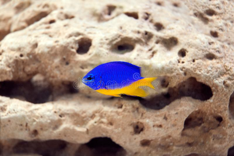 Αποκλειστικά θαλάσσια ψάρια στο ενυδρείο - parasema Chrysiptera στοκ εικόνες