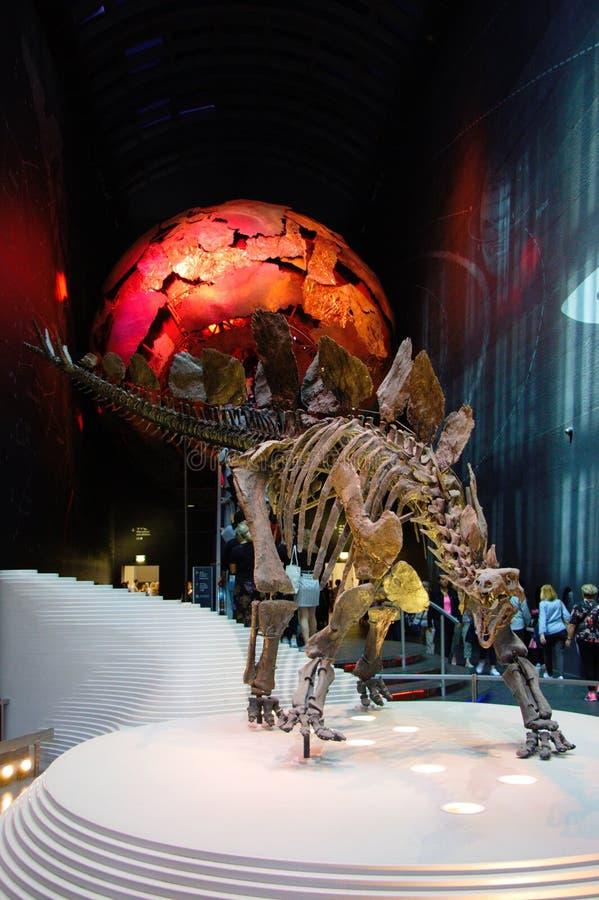 Απολίθωμα σκελετών Stegosaurus στοκ φωτογραφίες με δικαίωμα ελεύθερης χρήσης