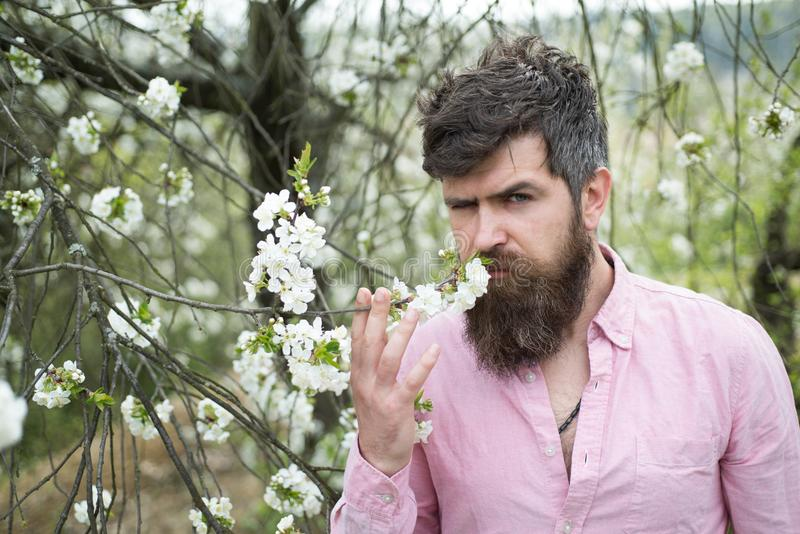 Απολαύστε το χρόνο άνοιξη Γενειοφόρο άνθος κερασιών μυρωδιάς ατόμων Άτομο με τη μακριά γενειάδα και mustache στο σοβαρό πρόσωπο Τ στοκ φωτογραφία