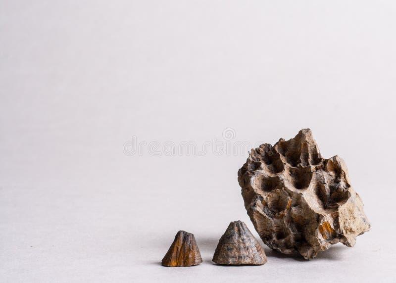 Απολιθωμένα κοχύλια στοκ εικόνα με δικαίωμα ελεύθερης χρήσης