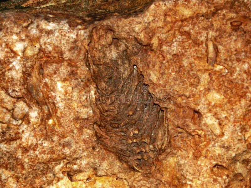 Απολιθωμένος κώνος engelhardtii πεύκων στοκ φωτογραφία με δικαίωμα ελεύθερης χρήσης