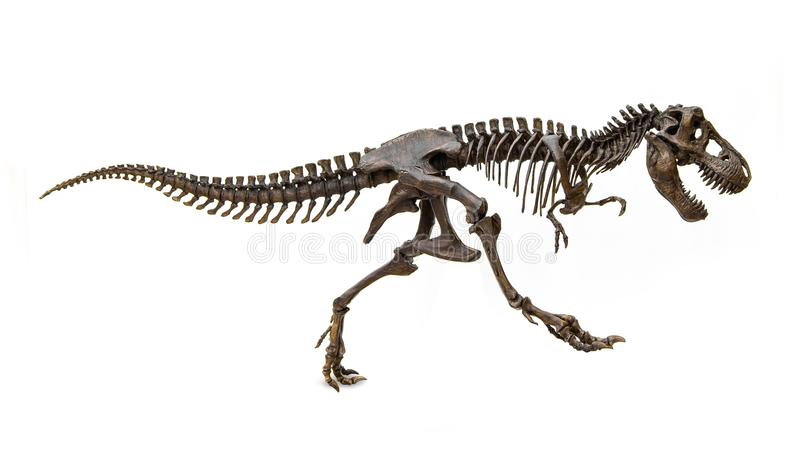 Απολιθωμένος σκελετός του τυραννοσαύρου Rex δεινοσαύρων στοκ φωτογραφία