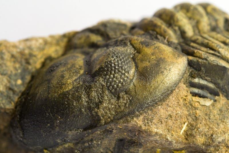 απολιθωμένος τριλοβίτης στοκ φωτογραφίες με δικαίωμα ελεύθερης χρήσης