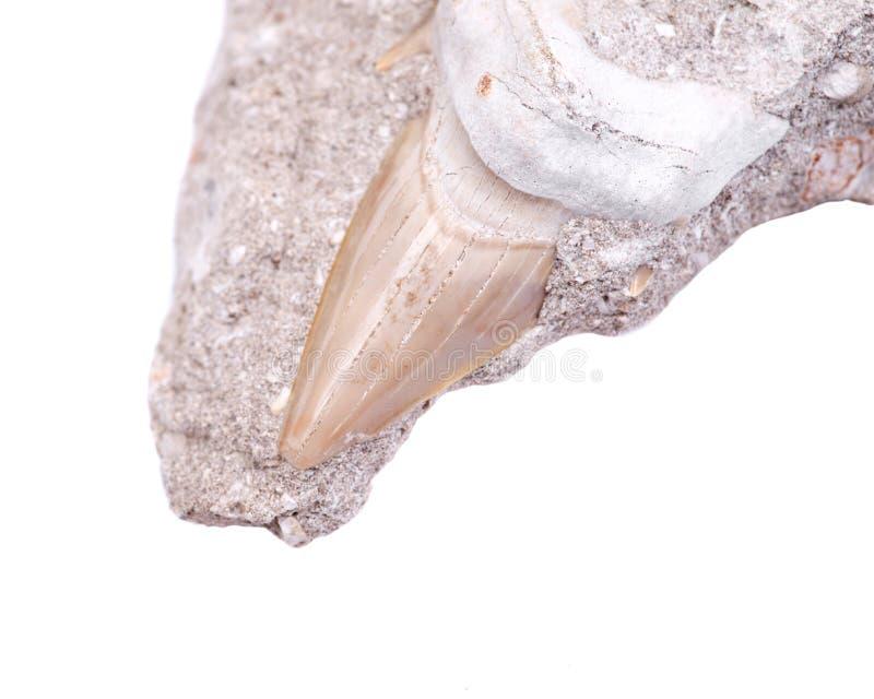 Απολιθωμένο δόντι καρχαριών που ενσωματώνεται σε ένα κομμάτι Miocene του ασβεστόλιθου από Βικτώρια στην Αυστραλία στοκ φωτογραφίες
