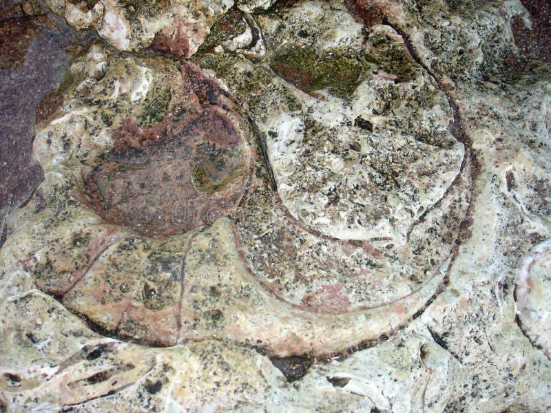 απολιθωμένο nautilus στοκ εικόνα