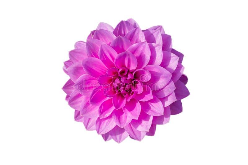 Απομονωμένα λουλούδια νταλιών στοκ φωτογραφίες με δικαίωμα ελεύθερης χρήσης