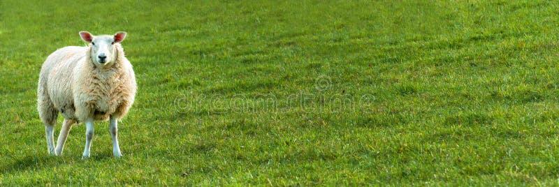 απομονωμένα πρόβατα στοκ φωτογραφία με δικαίωμα ελεύθερης χρήσης